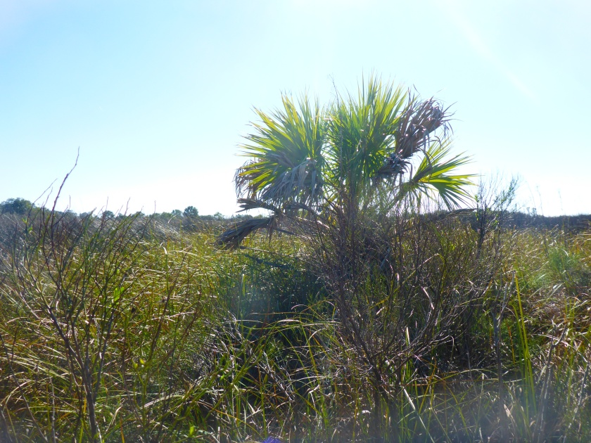 Palm in marsh.jpg