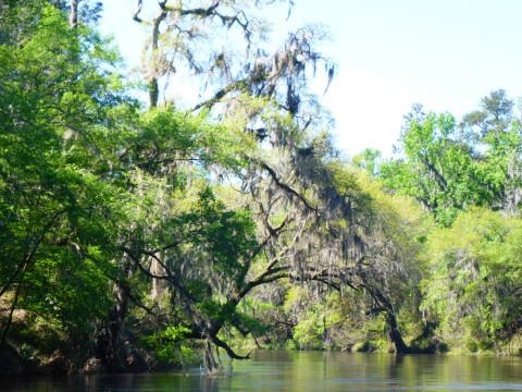 Spanish moss and trees lining the Withlacoochee.jpg