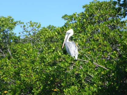 Pelican at Bahia Honda