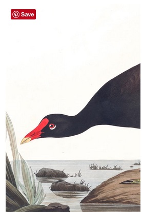 Drawing of Common Gallinule, James John Audubon