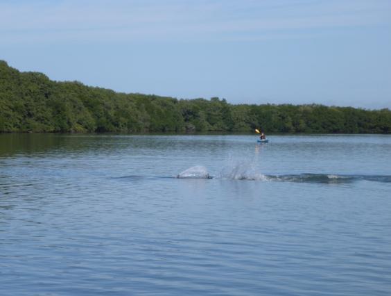 dolphin chasing fish
