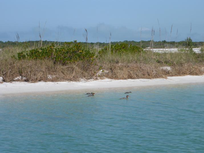 ducks swimming around north end of Caladesi